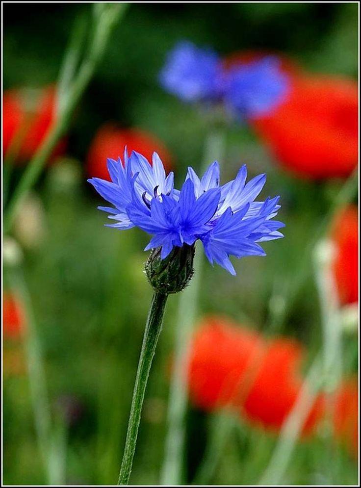 les 25 meilleures id es concernant bleuet fleur sur pinterest bleuet photos de champ de bl. Black Bedroom Furniture Sets. Home Design Ideas