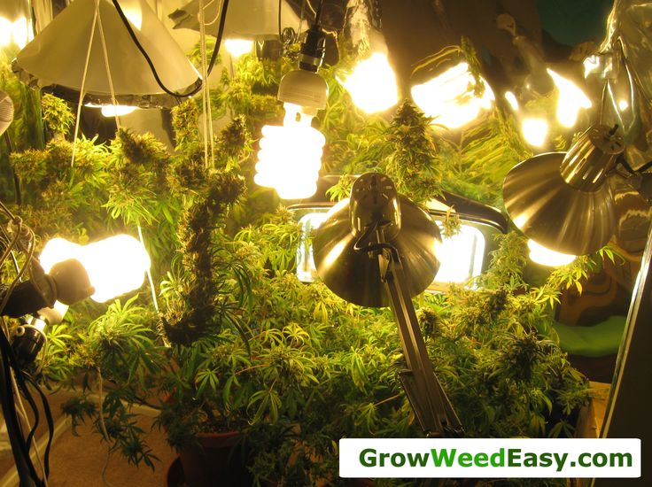 Easy Beginner Grow Cannabis Guide w/ CFL Grow Lights | How to Grow ...
