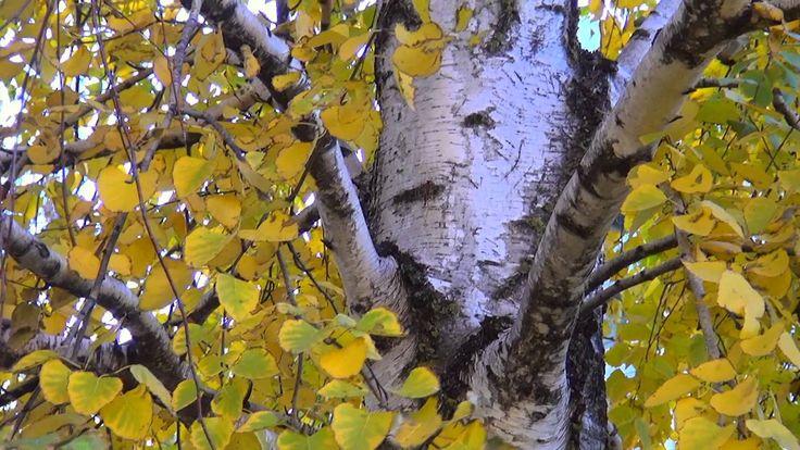 Березка. Осенние листья *♫*♥* скрипка *♫*♥*