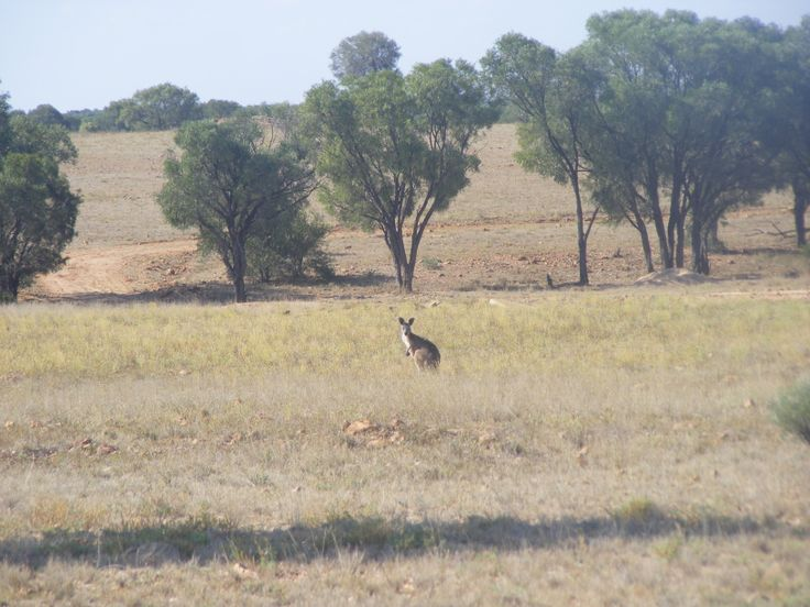 Kangaroo near Winton