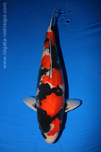 showa koi | The 40th All Japan Koi Show took place over this weekend at the Ryutsu ...