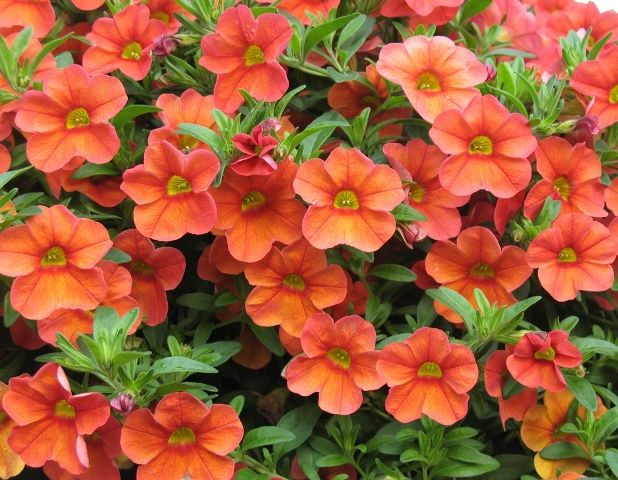 power flowers calibrachoa aloha kona madarin cool flowers pinterest flower and orange. Black Bedroom Furniture Sets. Home Design Ideas