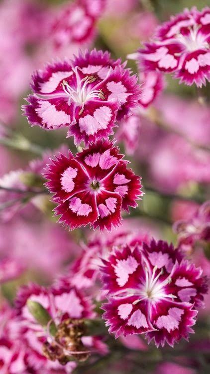 "~""Dianthus--""Pinks"" <3"