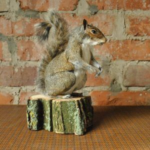 Taxidermy grey squirrel (sciurus carolinensis)