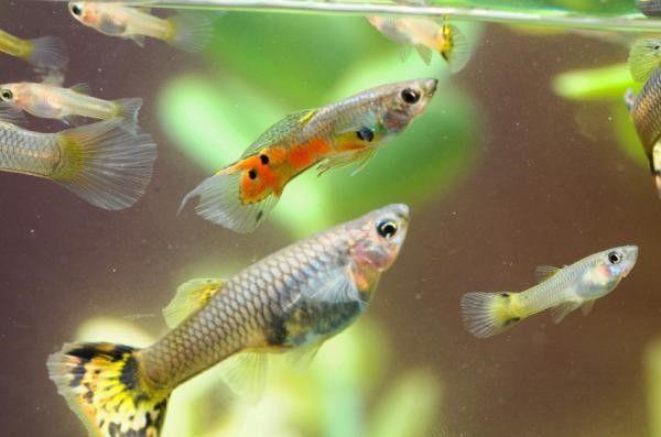 How Do Fish Reproduce Guppy Fish Fish Care Guppy