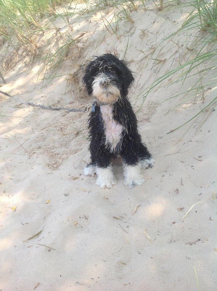 Torrid Zone Portuguese Water Dog 19 best Caniche...