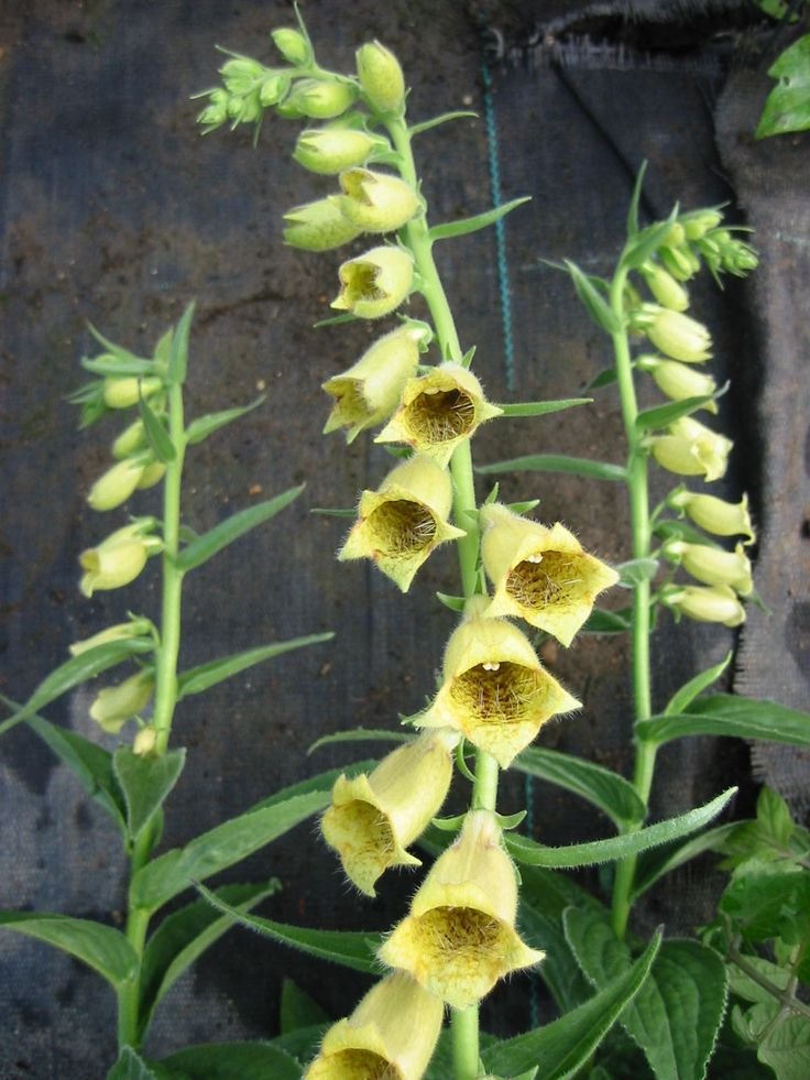 Digitalis grandiflora Perennial, large soft yellow coloured flowers, herbaceous in winter. A lovely plant that comes true from seed.  From the Botanic Nursery