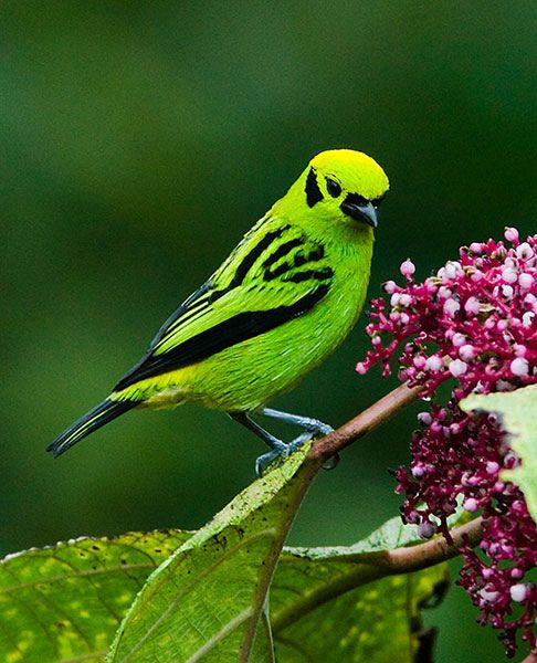 Emerald Tanager (Tangara florida) is a species of bird in the Thraupidae family. It is found in Colombia, Costa Rica, Ecuador, and Panama.