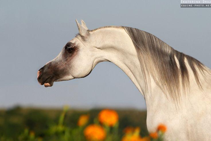 Photos of Arabian horses by Ekaterina Druz Equine Photography