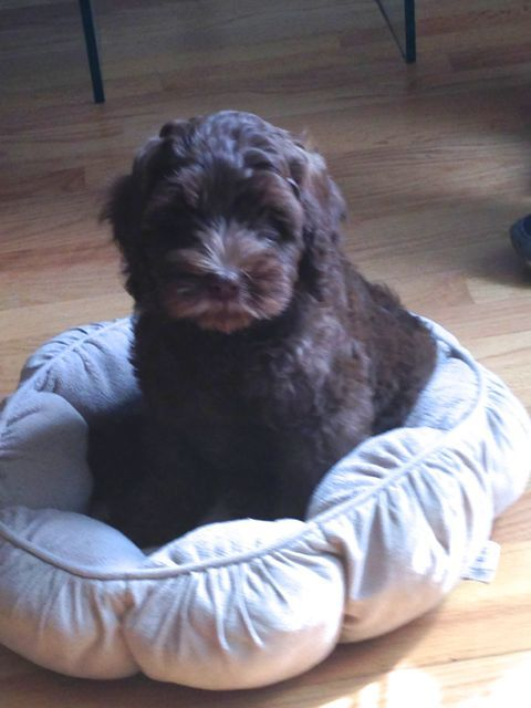 Check out http://rosewoodlabradoodles.com!  Rosewood  Labradoodles, Australian Labradoodle breeder, Labradoodle puppies for sale, Labradoodle puppies in Rockford Illinois, allergy friendly dogs