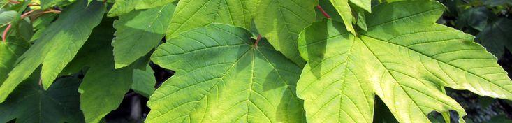 Acer pseudoplatanus 'Worley' | TreeEbb | Online bomenzoektool | Boomkwekerij Ebben