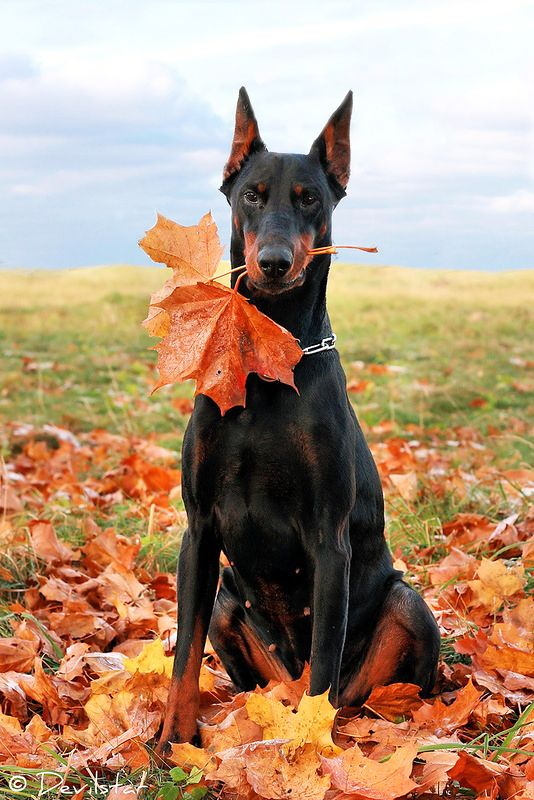 Beautiful Black And Tan Doberman Pinscher With Cropped