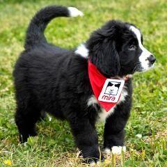 Plus de 100 chiens Mira par année à des enfants autistes (Québec) | Psychomédia