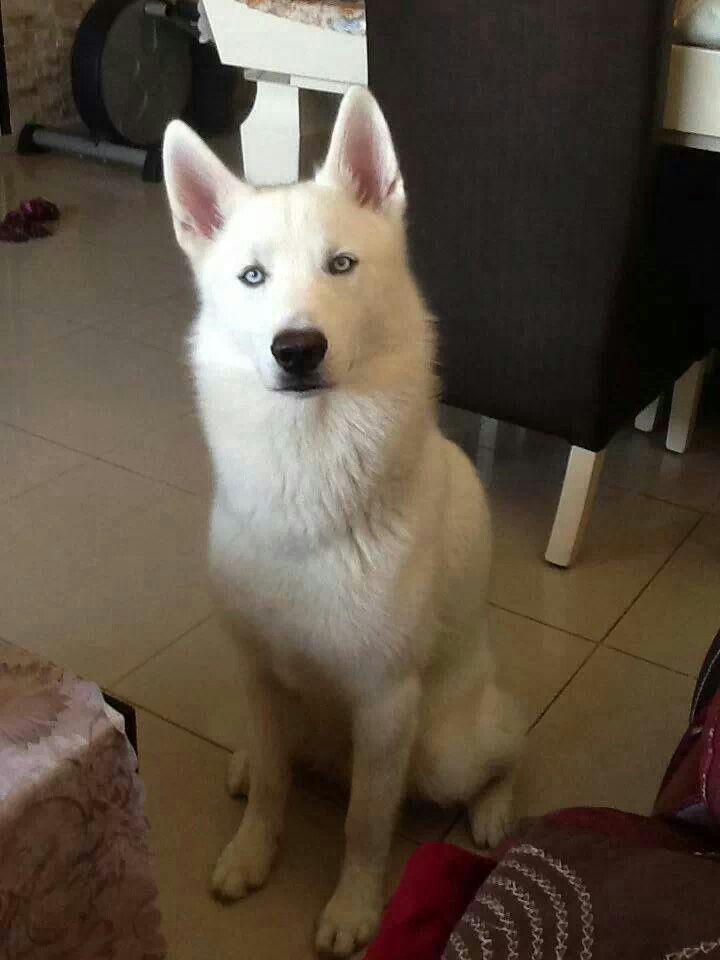 Beautiful white husky