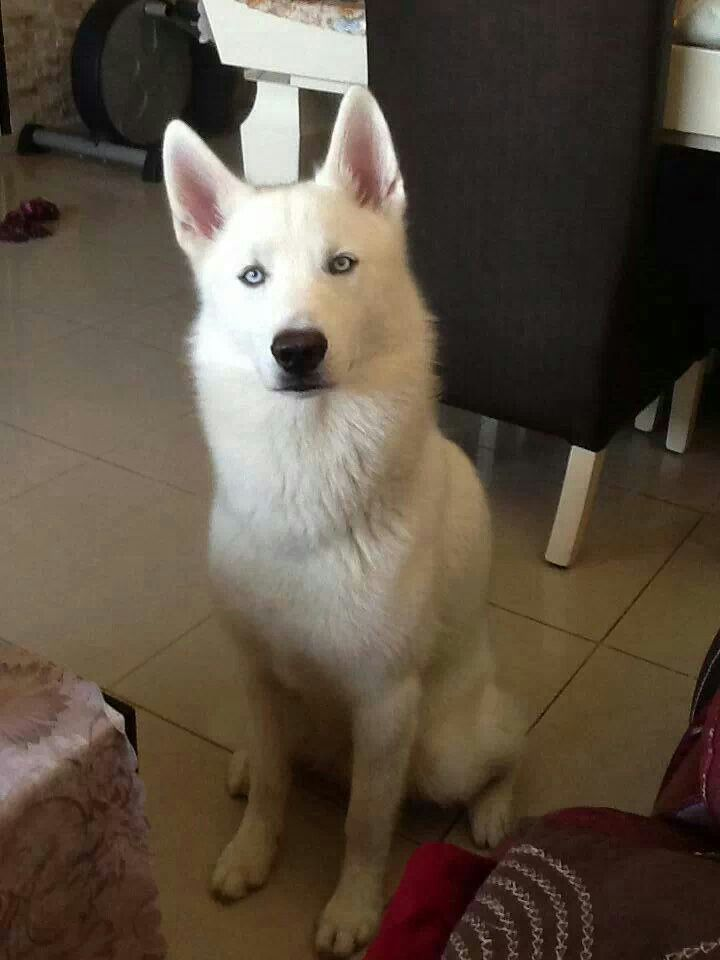 Beautiful white husky