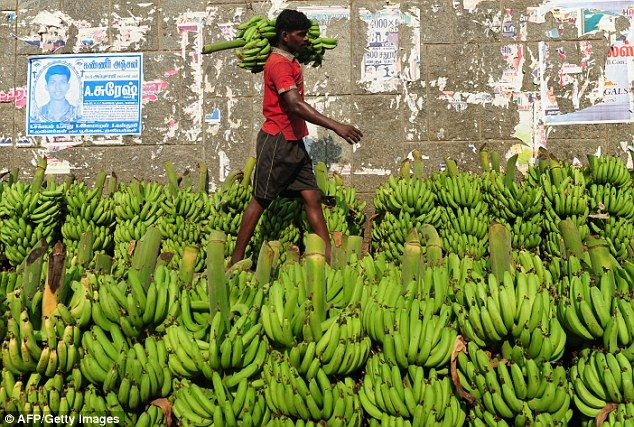 An Indian labourer carries bananas at the Koyembedu fruit market in Chennai. Panama disease has badly affected the banana industry in Asia but has yet to spread to Latin America