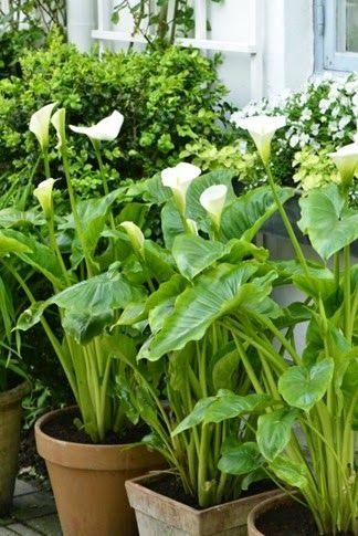 Calla Lilies. Zantesdechia aethiopica from claus dalby 20140521_123259