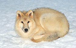 El lobo ártico (Canis lupus arctos), también llamado lobo polar o lobo blanco, es un mamífero de la familia Canidae, subespecie del lobo