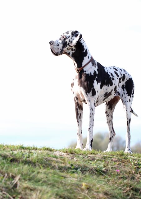 I want a Great Dane more than anything but Trav tells me they're too big haha I suppose I agree