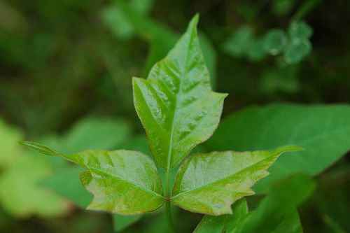 Learn how to identify poison Ivy with this helpful guide!