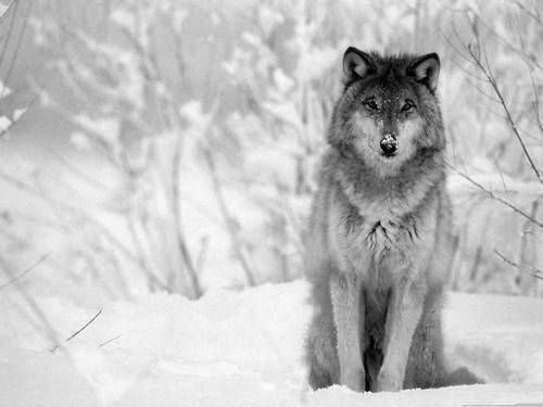 Beautiful Lone wolf
