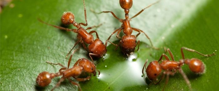 ¿Dónde viven las hormigas de fuego? || Una mapa de dónde viven las hormigas de fuego en los E.E.U.U. y cómo matarlas. #jardin #hormigas #Texas