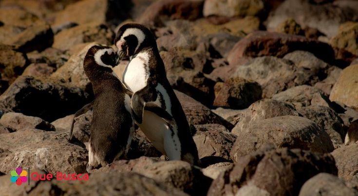 Unos tiernos pingüinos.