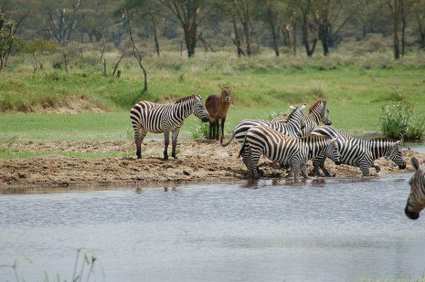 Interesting Facts About Kenya: Zebras bear Lake Nakuru Kenya