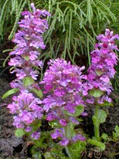 Pink Ajuga reptans.  Low maintenance, evergreen fast spreading (underground runners) groundcover with leaves that have fall crimson color.  Bloom March-May. Can take full sun in Pacific NW. Can divide.  Can plant under tees.  Will overtake other ground covers.