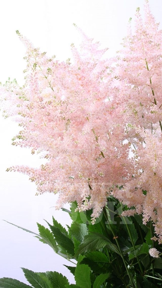 Blush pink astilbe to be used in the bride bouquet, bridesmaids bouquets, and groom's boutonniere
