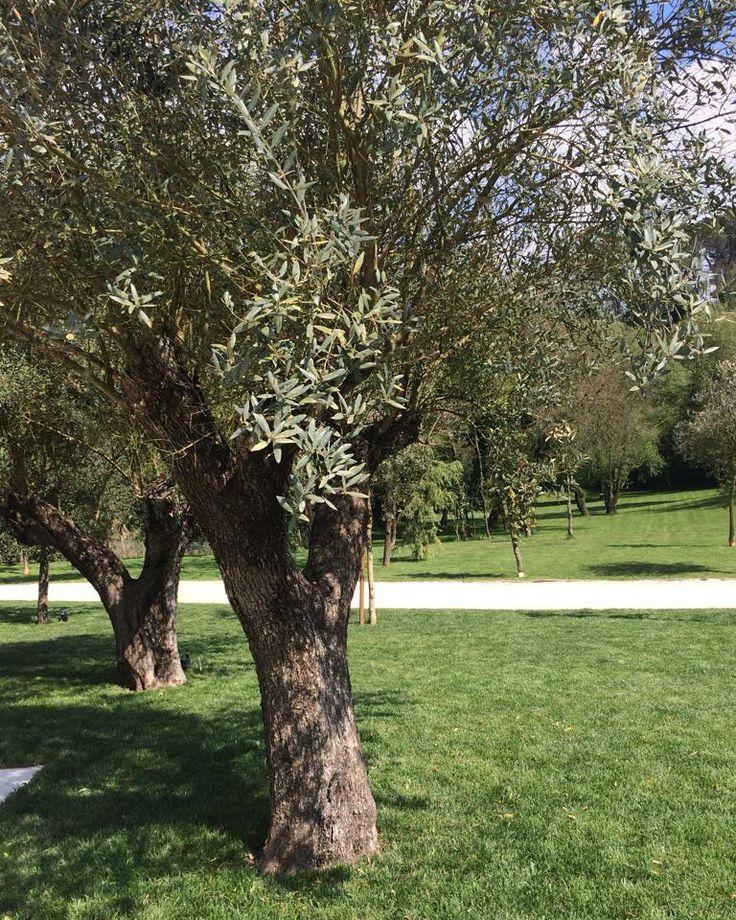 Sedersi all'ombra degli ulivi e godersi il sole! #Caio