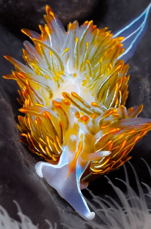 Incredible colors...The opalescent nudibranch is a predatory mollusk with no shell.