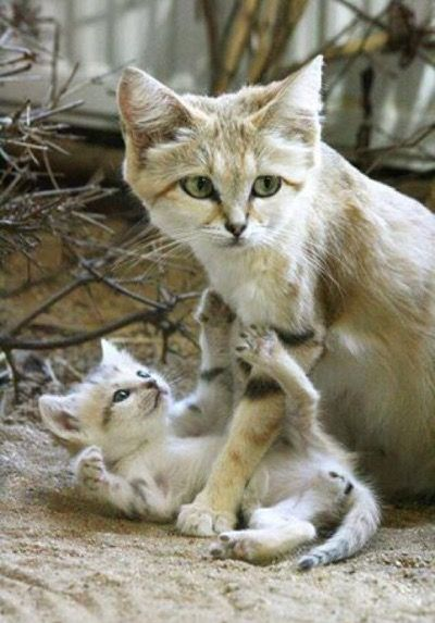 17 Best Images About Arabian Sand Cats On Pinterest