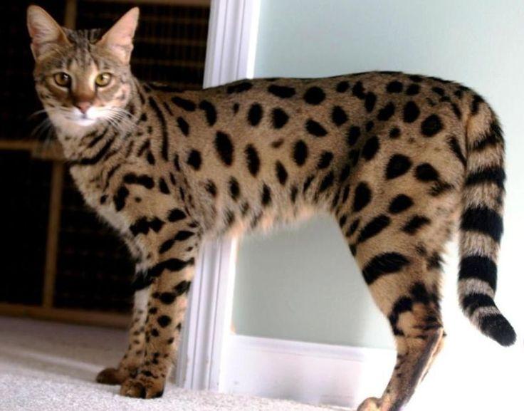Kucing termahal yang ada didunia beautiful cool cats - Chat type leopard ...