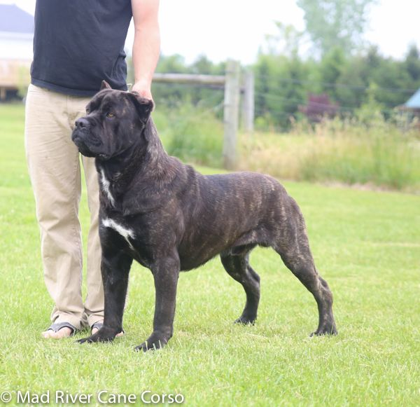 Our Dogs Mad River Cane Corso Award Winning Italian Mastiff Breeder Cane Corso Italian Mastiff Dog Cane Corso Puppies