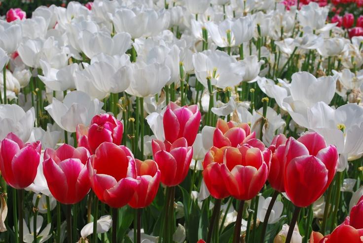 Tulip 14