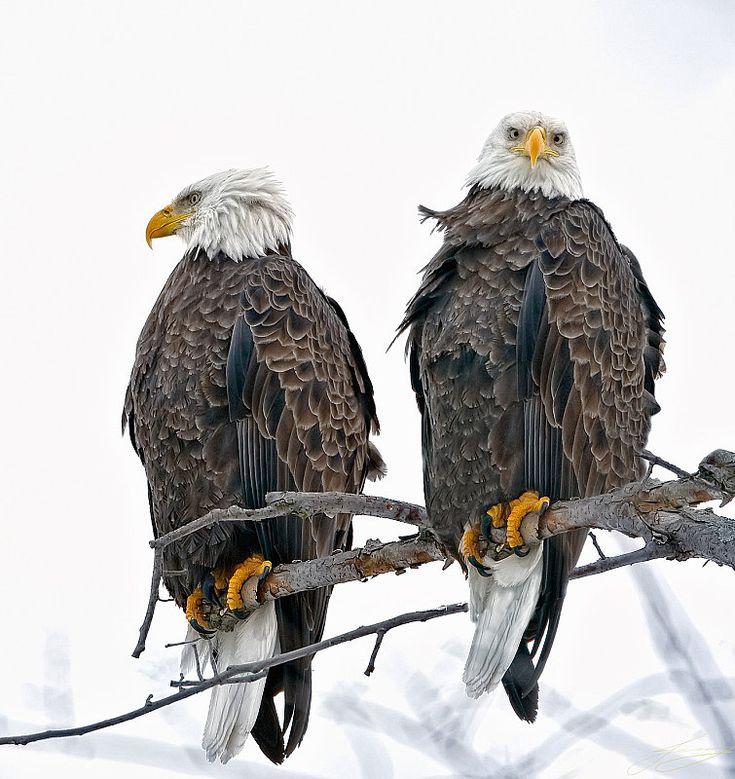 Sea eagles: North America, Animal Kingdom, The Eagles, Wildlife, American Eagles,  American Eagle, Bald Eagles, Natural, Photo Shoots