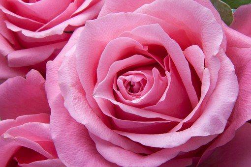 Roser, Lyserød, Familie