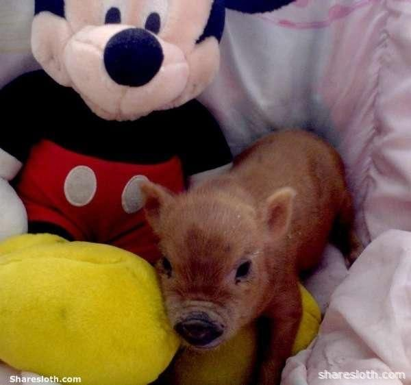 Miniature pigs, also known as micro pigs, pocket pigs, or teacup pigs with micky mouse