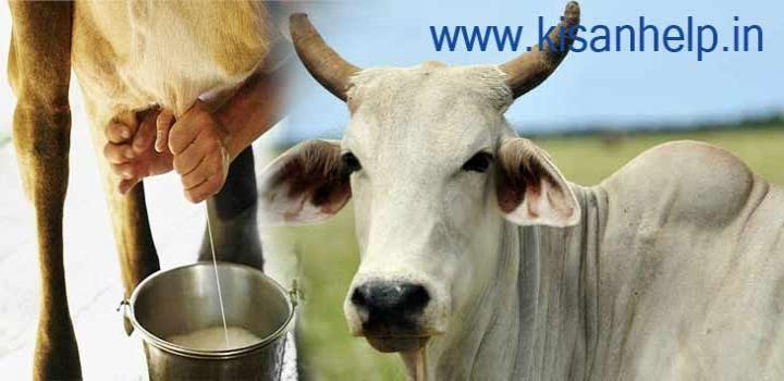 खुश रहेगी गाय तो दूध होगा ज्यादा पौष्टिक