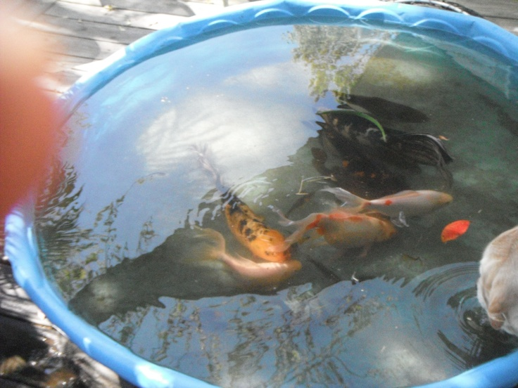 We keep the fish is blue kiddie pools and large coolers for Koi pond kiddie pool