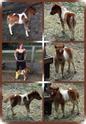 Falabella Miniature Horse For Sale - Toyland Crimson