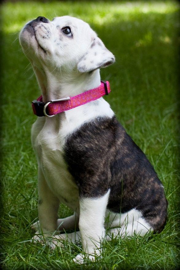 Olde English Bulldogge puppy