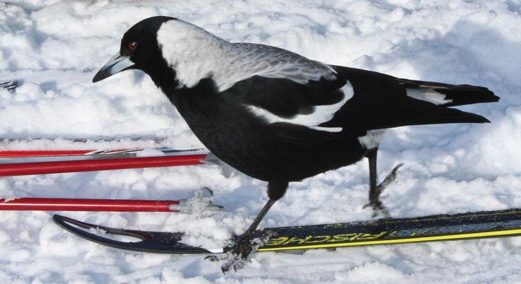Magpie on Skis - Falls Creek Australia