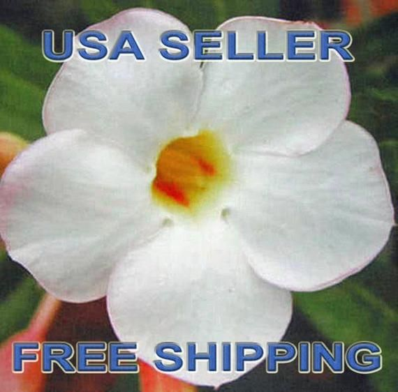 """15 Adenium-Desert Rose """"WHITE CLOUD"""" Seeds New Fresh Rare USA Seller Free Shipping"""