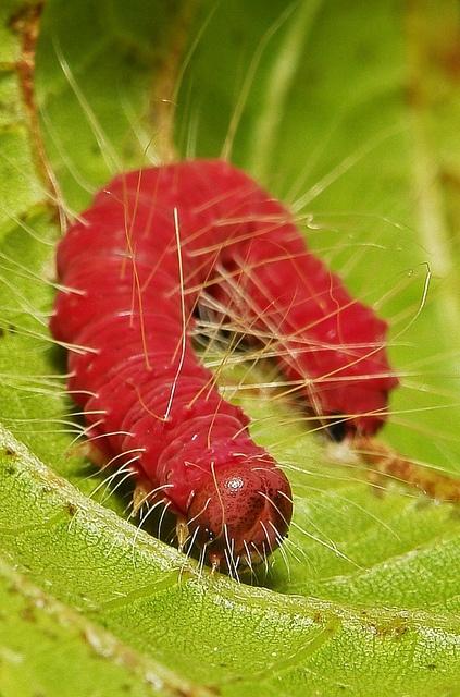 Crimpson caterpillar, Pu'er, Yunnan, China