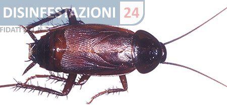 #disinfestazione #scarafaggi #blatte #blatta #blatella #scarafaggio #asiatico