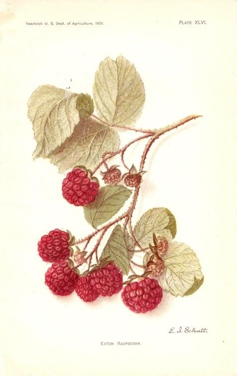 1908 vintage print RED RASPBERRY fruit art. $8.99, via Etsy.