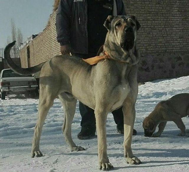 Persian Mastiff-23
