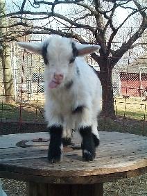 a Mini Nigerian goat